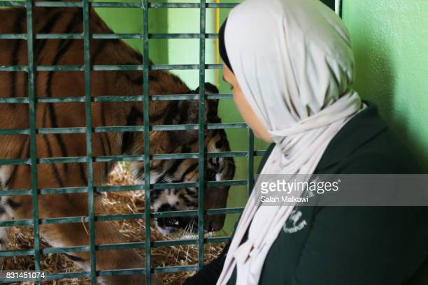 AUGUST 14 Doctor Raghad Zaytoon sits close to tiger Saeeda a tiger who arrived from an Aleppo zoo in northern Syria at the AlMa'wa wildlife reserve...