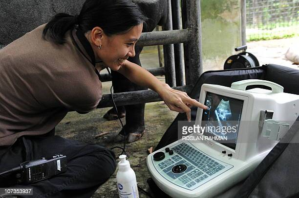 Doctor Serena Oh assistant director veterinary for Wildlife Reserves Singapore reacts as she scans a pregnant Malayan Tapir with ultrasound at the...
