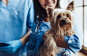 Cropped image of handsome doctor veterinarian and his attractive assistant at vet clinic are examining little dog Yorkshire Terrier.