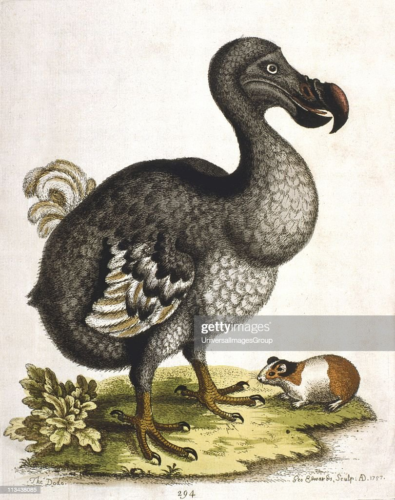 extinct species dodo bird The dodo, or raphus cucullatus if you want to get fancy, is an extinct species of  flightless bird that was native to the tiny island nation of.