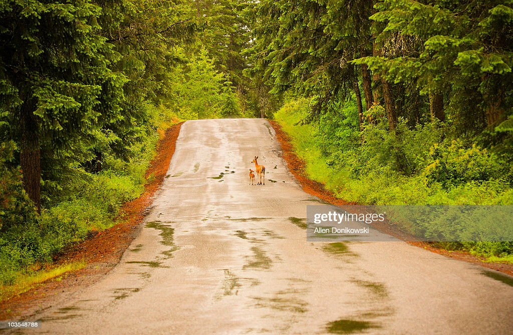 Doe and fawn in the road