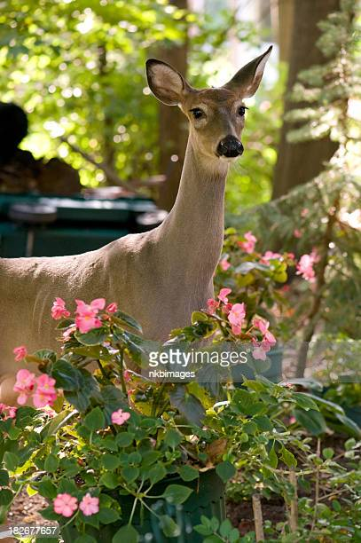 Doe (female deer) in a suburban garden
