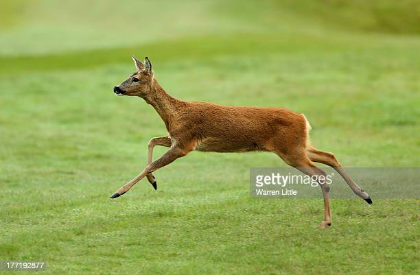 A doe races arcoss a fairway during the first round of the Johnnie Walker Championship at Gleneagles on August 22 2013 in Auchterarder Scotland