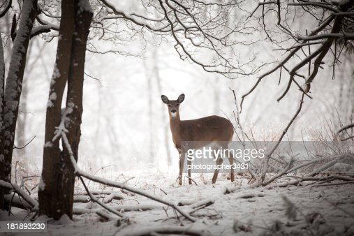 Doe standing at edge of woods : Stock Photo
