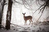 Doe standing at edge of woods