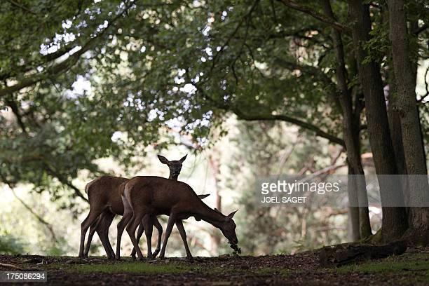 Does roam in the Rambouillet forest reserve on July 31 some 50 kms outside of Paris AFP PHOTO / JOEL SAGET