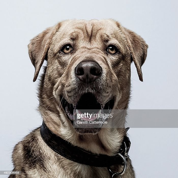 Dog actor Hagen attends the 'White God' portrait session during the 67th Annual Cannes Film Festival on May 17 2014 in Cannes France