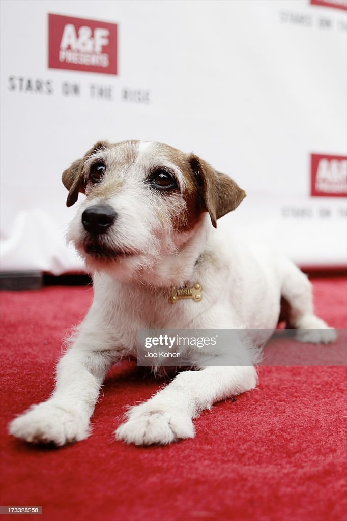 Dog actor Uggie attends the Abercrombie & Fitch Co. presents their 2013 'Stars On The Rise!' at The Grove on July 11, 2013 in Los Angeles, California.