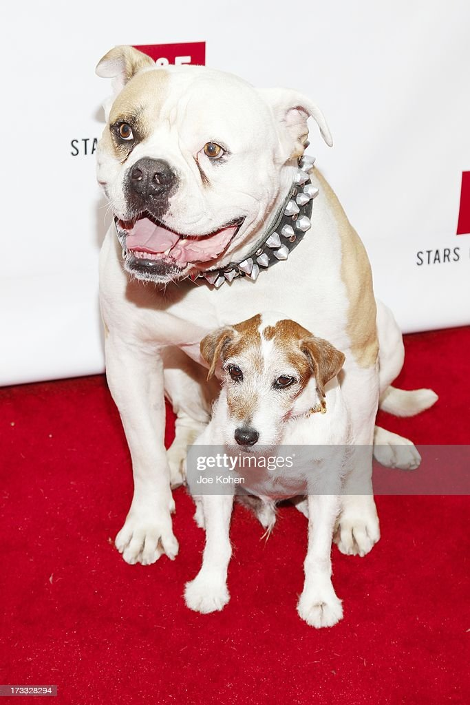 Dog actors Popeye and Uggie attend the Abercrombie & Fitch Co. presents their 2013 'Stars On The Rise!' at The Grove on July 11, 2013 in Los Angeles, California.