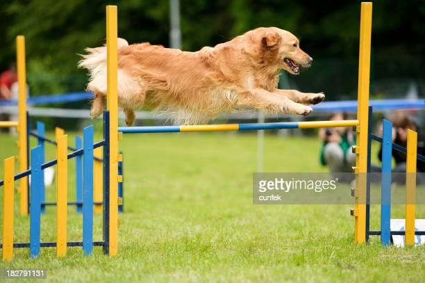 Dog agility with golden retriever