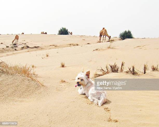 Dog And Camels On Sand At Desert Against Clear Sky