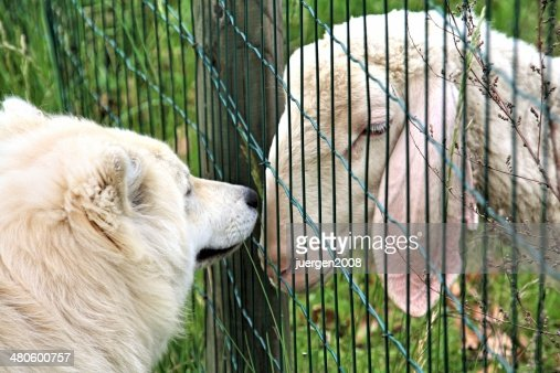 dog and sheep : Stock Photo