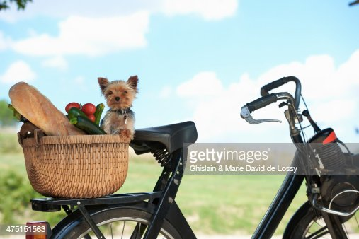 Dog and vegetables in basket of electric bike : Stock Photo