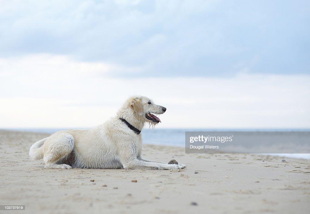 Dog at beach. : Stock Photo