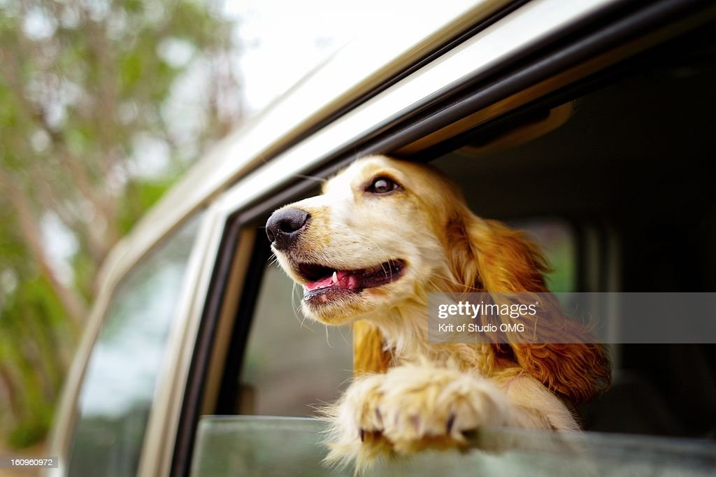 Dog at car window : Stock Photo