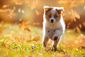 Dog, Australian Shepherd puppy jumping in autumn leaves over a meadow