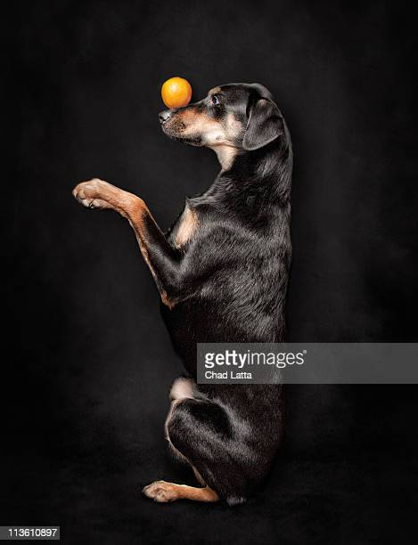 Dog balancing an orange on her nose