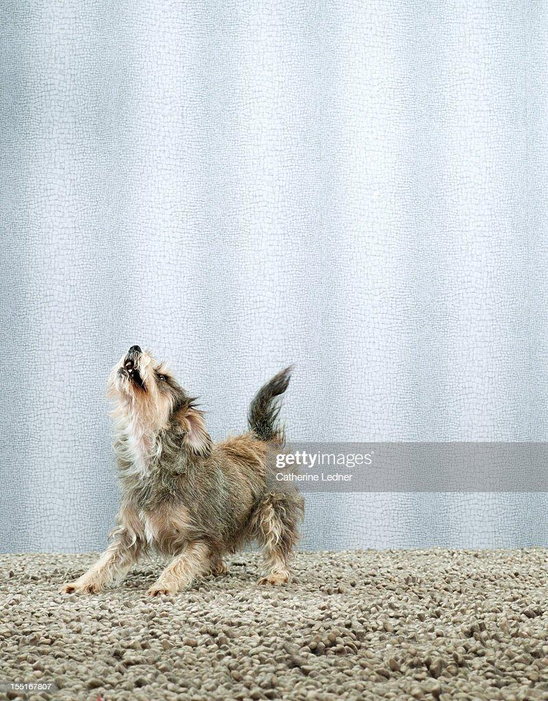 Dog (Canis lupis familiaris) barking