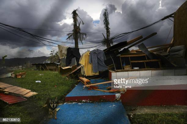A dog barks amidst the remnants of a destroyed home more than two weeks after Hurricane Maria hit the island on October 6 2017 in Morovis Puerto Rico...
