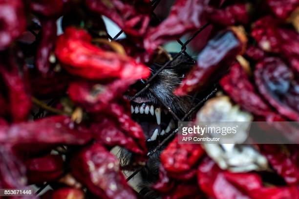 A dog barks hidden among threads of red paprika in the village of Donja Lokosnica near the city of Leskovac Southern Serbia on September 25 2017...