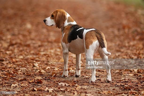 Dog Beagle in Nature