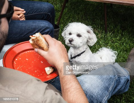 Dog begging for owners food : Stock Photo