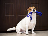 Jack Russell Terrier wish to go for a walk