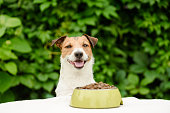 Portrait of happy Jack Russell Terrier with dog food