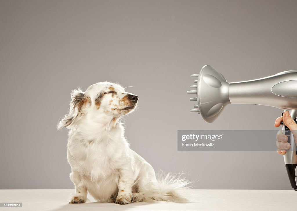 Dog being blown by hairdryer : Stock Photo