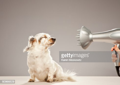 Dog being blown by hairdryer