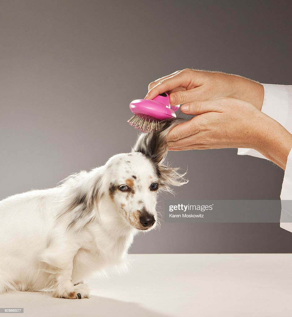 Dog being groomed : Stock Photo