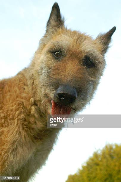 Dog Belgian Laekenois Adult Female Domestic Dog Belgian Laekenois Adultcanis Lupus Familiaris Domestic Dog Dog Canid Mammal