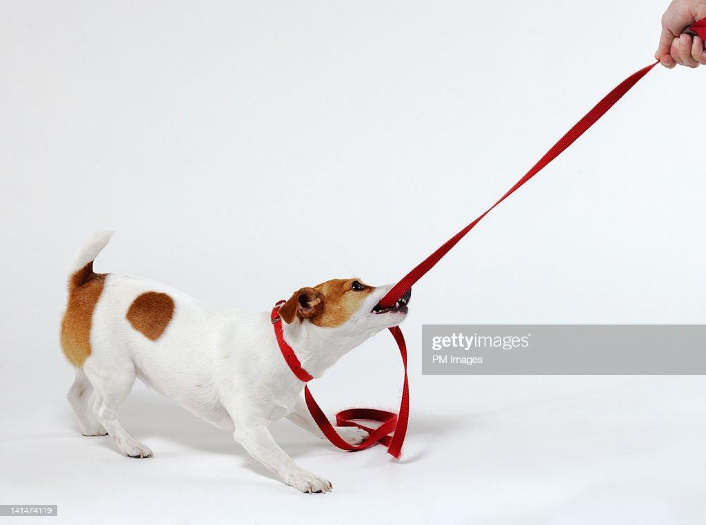 Dog bites leash