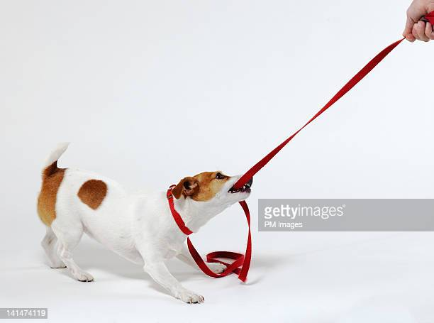 Dog bites leash