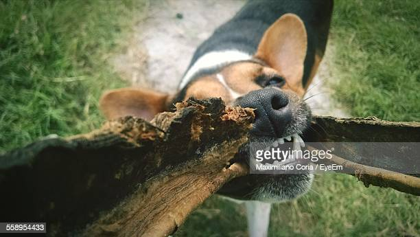 Dog Biting Piece Of Wood