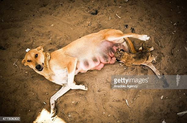 A dog breastfeeds a new born lion rejected by it's mother at the Terfihiyye Zoo in Gaza City Gaza on June 16 2015 After a new born lion rejected by...