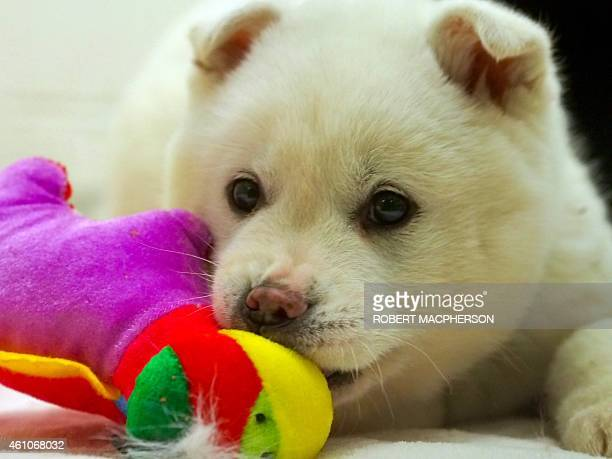 A dog called Snowball rescued from a dog meat farm in South Korea settles into the Animal Welfare League of Alexandria shelter January 5 2015 A total...