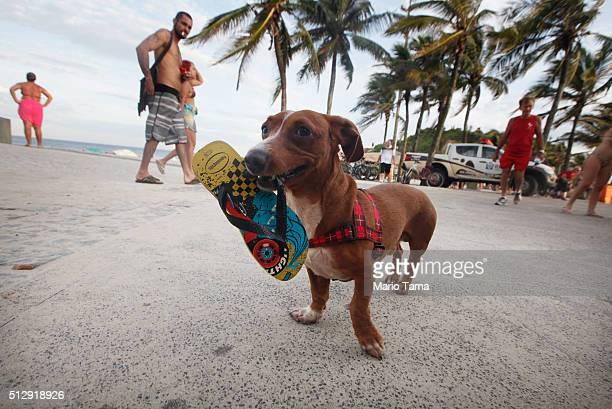 A dog carries a flipflop near Ipanema beach a popular tourist destination in Rio on February 28 2016 in Rio de Janeiro Brazil The Zika virus outbreak...