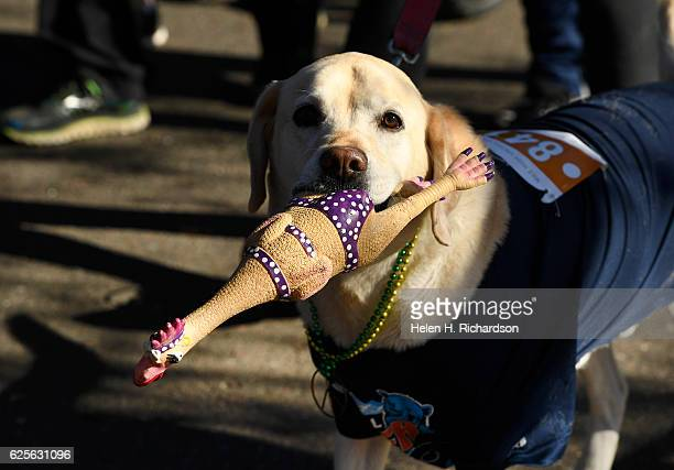 A dog carries a rubber chicken at the start of the 43rd annual Mile High United Way Turkey Trot on November 24 2016 in Denver Colorado In its 43rd...