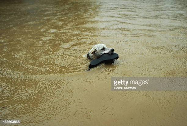 A dog carries a show in its mouth as it swims through a flooded street after continued monsoon rains triggered by tropical storm FungWong have...