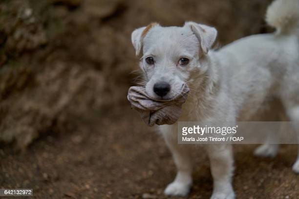 Dog carrying sock in mouth