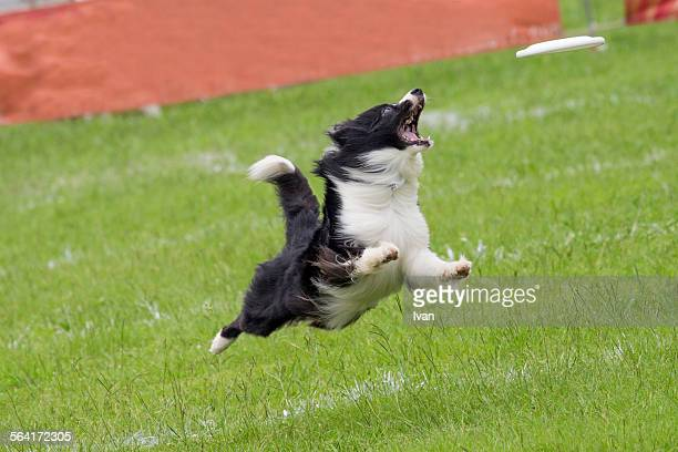 A dog catch frisbee on the grass