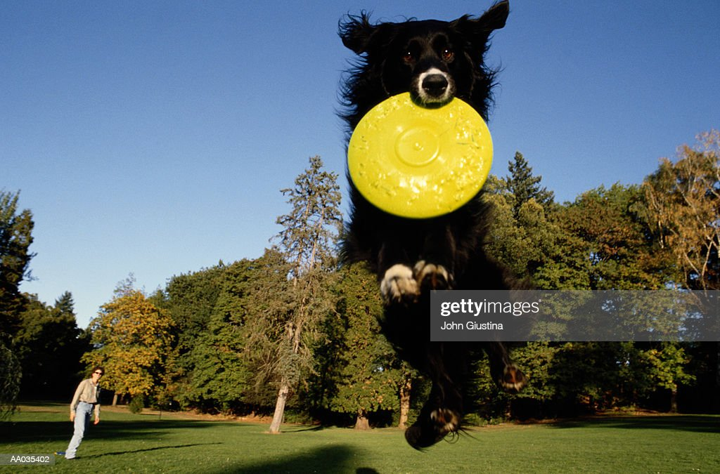 Dog Catching a Plastic Disc : Stock Photo