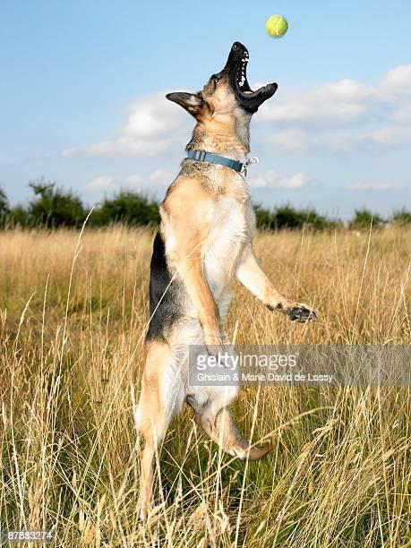 Dog catching a tennis ball