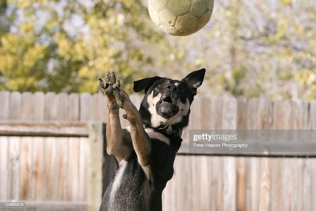 Dog catching football : Stock Photo