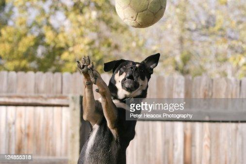 Dog catching football : Foto stock
