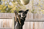 Dog catching football