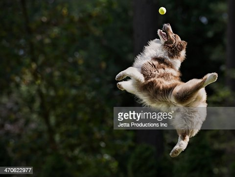 Dog catching tennis ball in mid air : Stock Photo