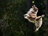 Dog catching tennis ball in mid air