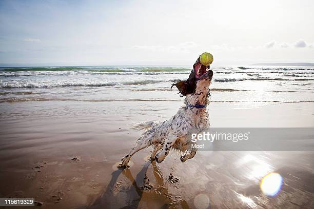 Dog catching tennis ball on beach